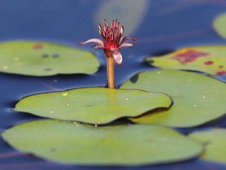 Plantes des lacs